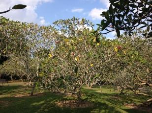Frangipani al Singapore Botanic Gardens